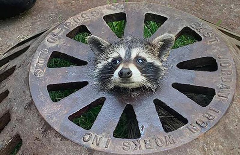 Firefighters free baby raccoon that got its head stuck in sewer cover (nydailynews.com)