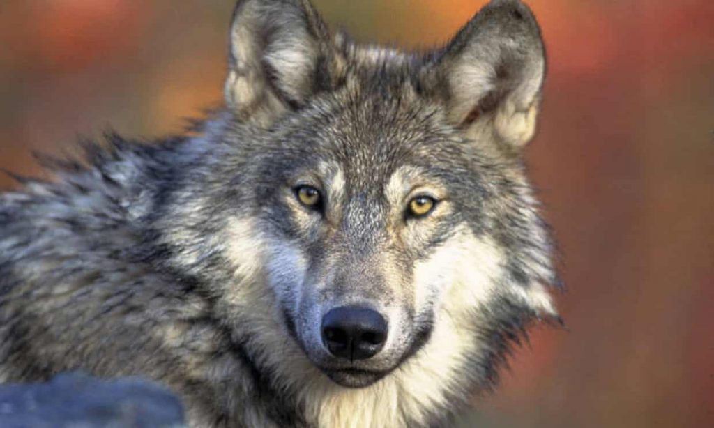 Wisconsin says hunters can kill 300 wolves this fall – against biologists' advice (theguardian.com)
